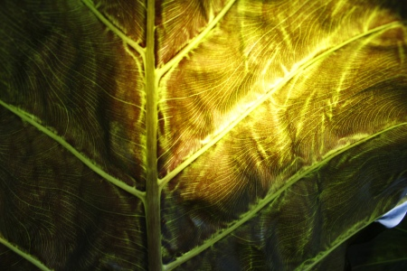 Folha translúcida ao sol (foto: Felipe Obrer)